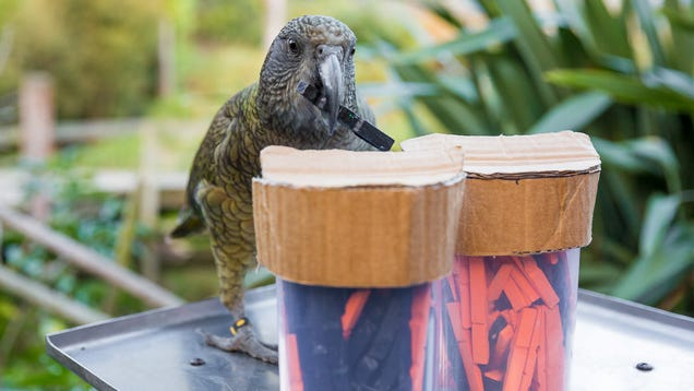 These Clever Parrots Can Understand Probability