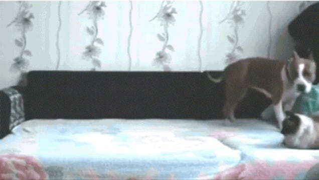 Liveleak Dog Not Allowed On Bed