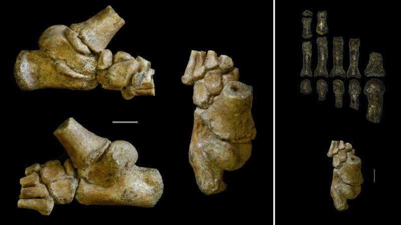 Parte del pie de la niña de Dikika.