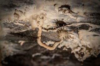 """Illustration for article titled This Bizarre """"Aragonite Flower"""" Grows from the Damp Ceilings of Caves"""