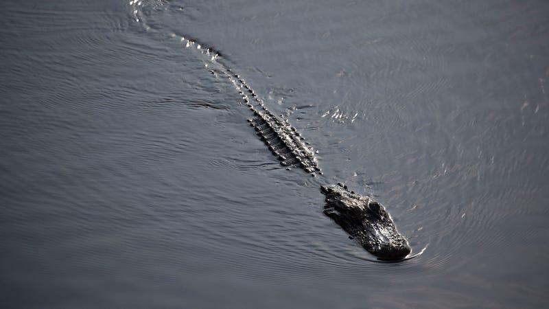 Alligator Life Imitates Alligator Art in Florida