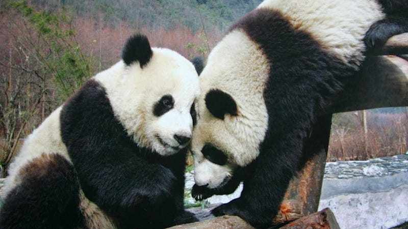 Illustration for article titled Experts Say That Giant Pandas at the Edinburgh Zoo Will Soon Be Down to Fuck