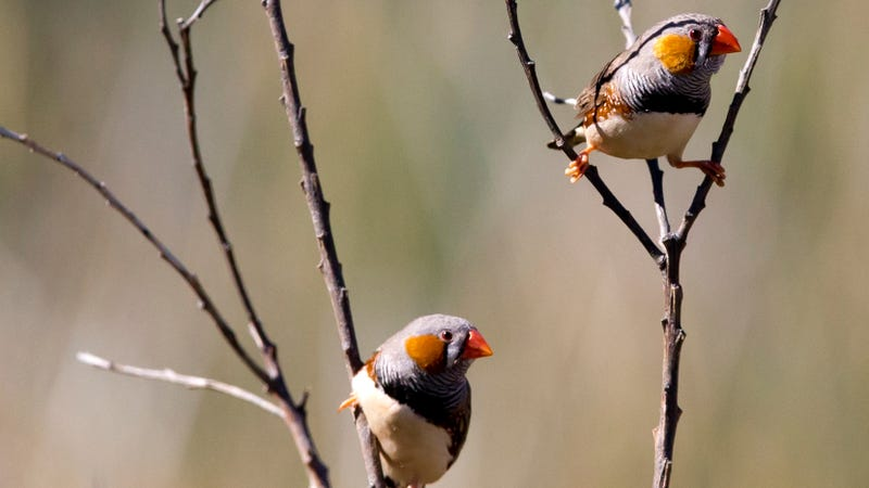 A pair of zebra finches. Credit: Jim Bendon