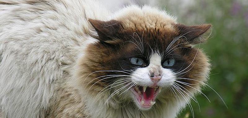 sentry pheromone calming collar for cats