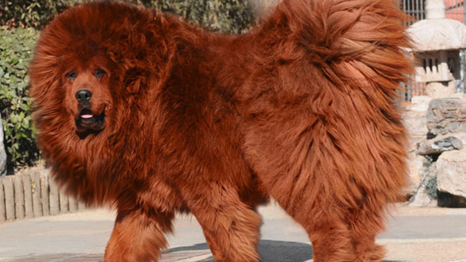 Chinese zoo tries to pass off a dog as a lion