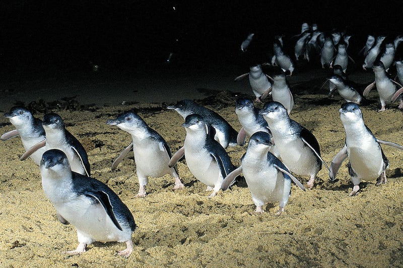 Illustration for article titled How one community brought these cute penguins back from extinction