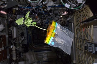 Illustration for article titled Listen to the radio diary of a zucchini plant aboard the ISS