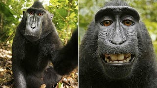 Illustration for article titled Those Smiling Monkey Pictures Are Likely Public Domain