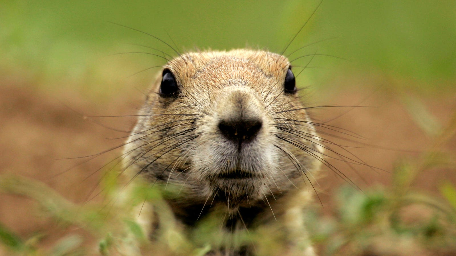 Plague-Infected Prairie Dogs Force Areas Near Denver to Be Closed to Public