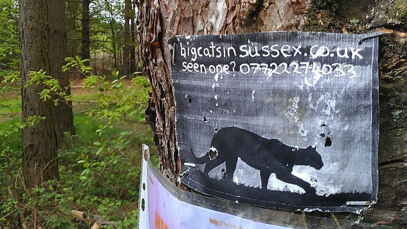 Do Mysterious Big Cats Prowl The English Countryside?