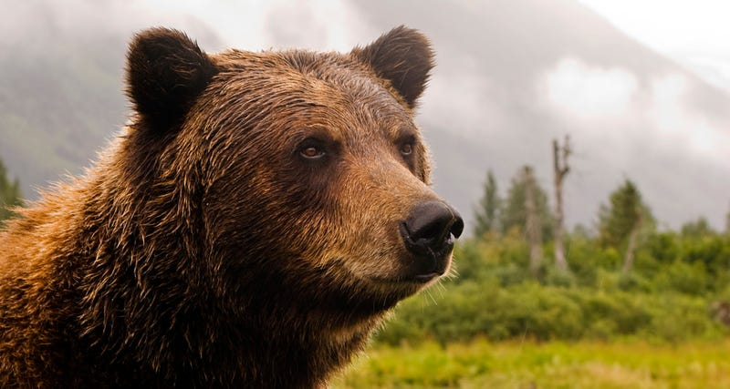 Un oso Grizzli en Alaska. Foto: Princess Lodges / Flickr, bajo licencia Creative Commons.
