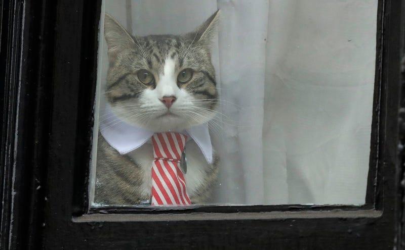 El gato de Julian Assange mira a través de una ventana en la Embajada de Ecuador en Londres