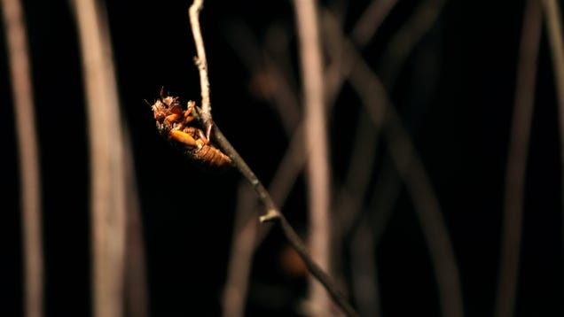 How I Stopped Worrying and Learned to Love—or at Least Tolerate—the Cicadas