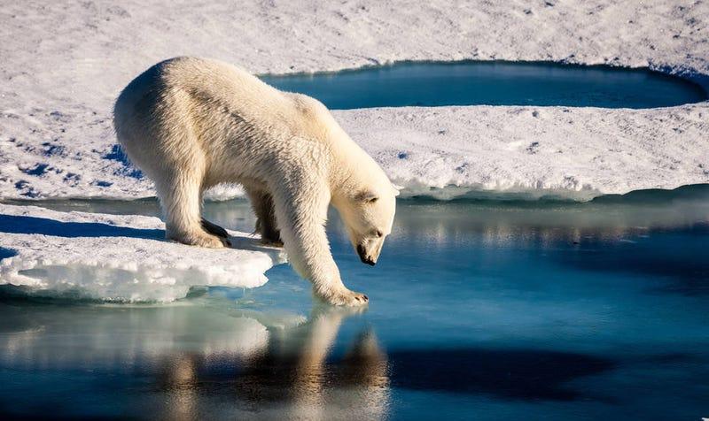A polar bear testing thin ice with its paw. Image: Mario Hoppmann