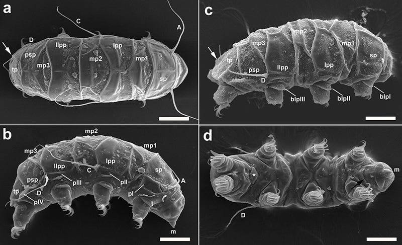 Illustration for article titled A New Species Of Water Bear Has Been Discovered In Antarctica