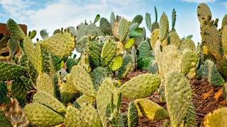 This Humble Cactus Could Help F