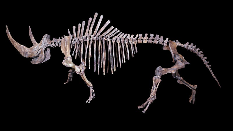 Wooly Rhino skeleton (Image: Didier Descouens/Wikimedia Commons)