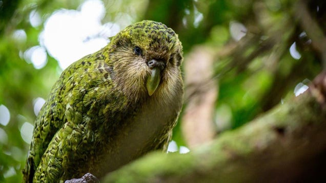 Adorable, Highly Inbred Land Parrots Are Somehow Genetically Thriving