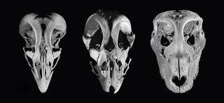 Illustration for article titled Científicos crean embriones de pollo con rasgos similares a dinosaurios