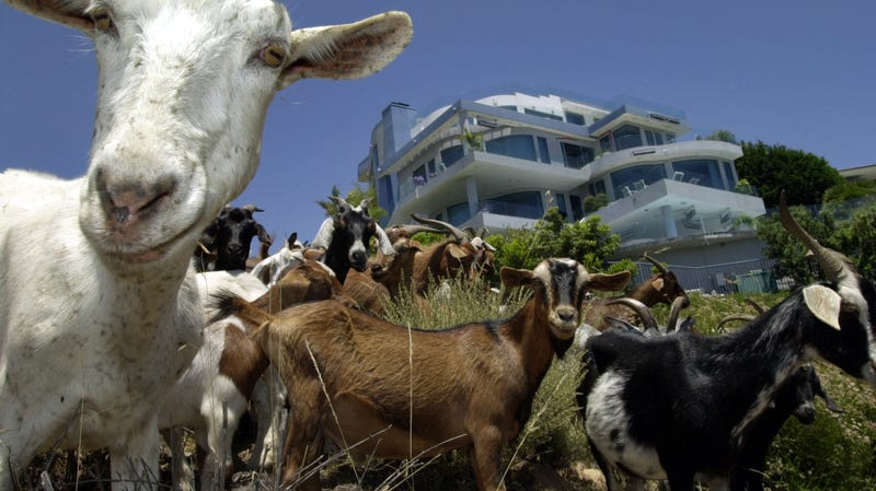 Goats protect homes from wildfire in Laguna Beach, CA.