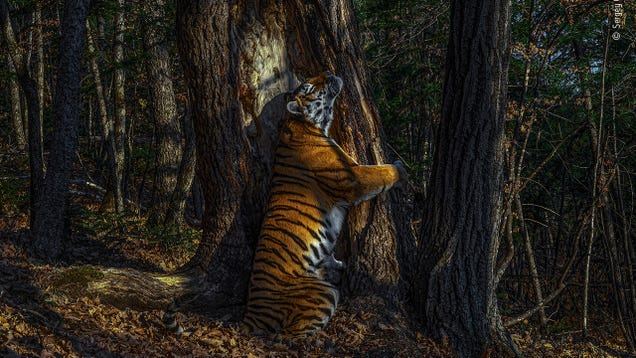 From a Tiger Hugging a Tree to Pallas' Cats Frolicking, These Are This Year's Top Nature Photos