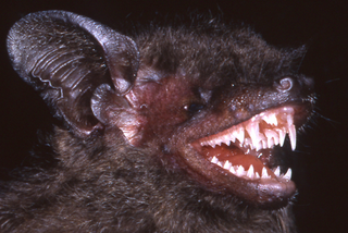 Illustration for article titled This Newly-Discovered Bat Has Fangs That Will Haunt Your Dreams