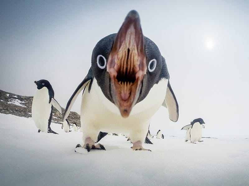 Illustration for article titled Cute penguins get angry too
