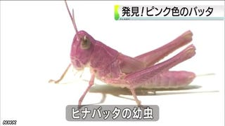 Illustration for article titled Pink Grasshoppers Are Real, Rare, and Vaguely Cute