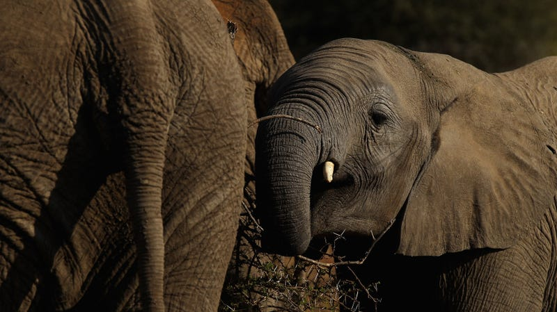 How Elephants May Help Africa's Rainforests Fight Climate Change