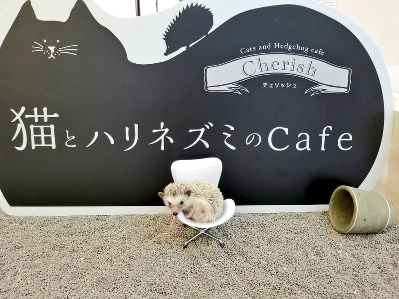 Illustration for article titled This Japanese Cat Cafe Also Has Hedgehogs