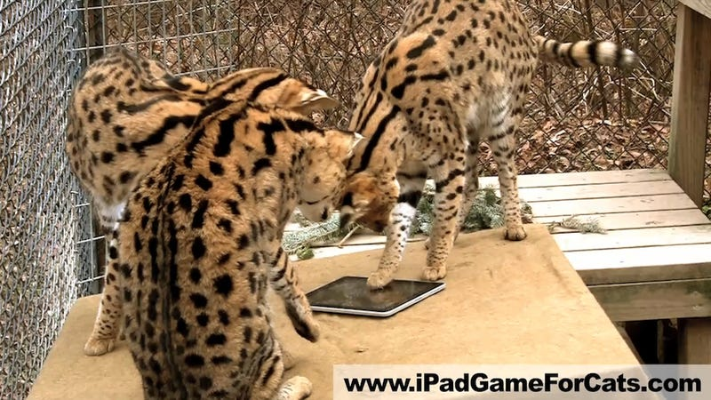 Illustration for article titled And Now, a Video of Jungle Cats Playing with an iPad