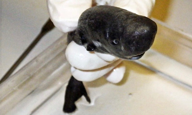 Illustration for article titled Identifican una nueva especie de tiburón diminuto capaz de brillar en la oscuridad
