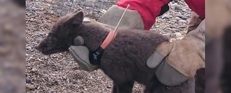 Illustration for article titled Este zorro ha logrado viajar de Noruega a Canadá en tan solo 76 días: una épica travesía de 3.500 kilómetros