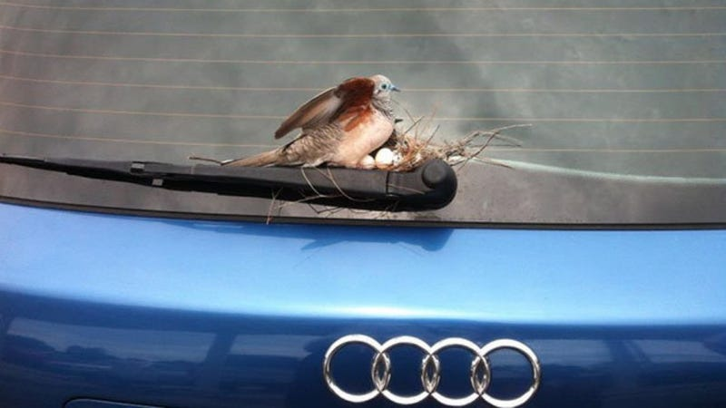 Illustration for article titled Dove Lays Eggs On Guy's Car, He's Totally Sweet About It