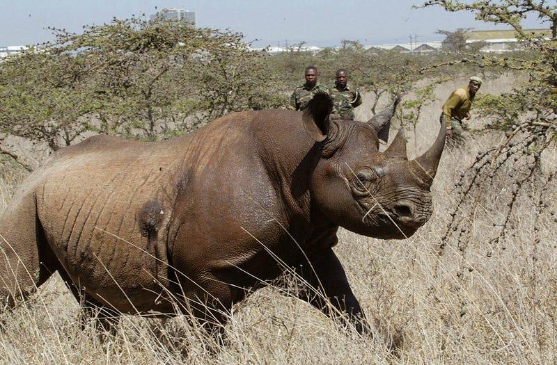 Uno de los rinocerontes negros capturados en Nairobi para su traslado.