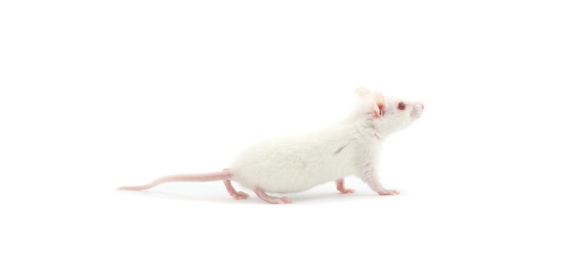 Illustration for article titled Scientists Cured Paralysis in Mice with Stem Cells and Lasers