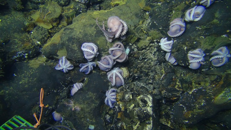 Seventeen octopods huddled on the Dorado Outcrop, most in a brooding posture.