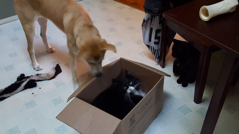 Illustration for article titled Doggo catches her foolish prey with ingenious box trap, while evil black cat looks on.