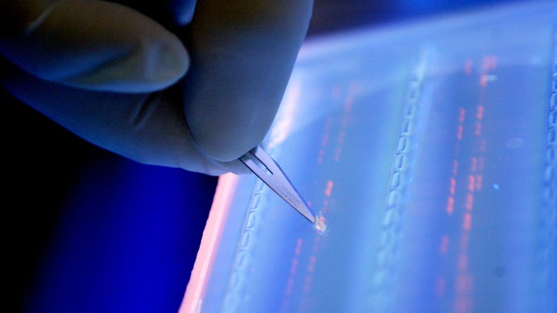 A scientist cuts a DNA fragment under UV light  for DNA sequencing. Image: AP