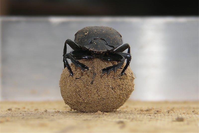 Illustration for article titled Why do dung beetles dance? It's not just because they're happy