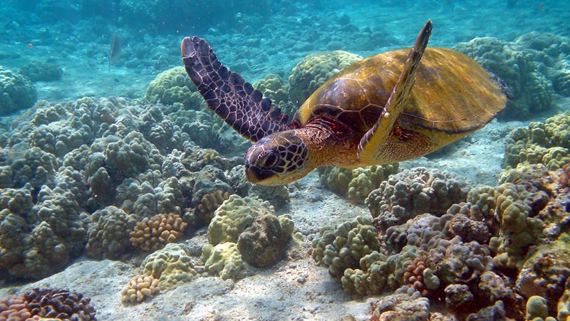 A green sea turtle (Chelonia mydas) on a Hawaiian reef