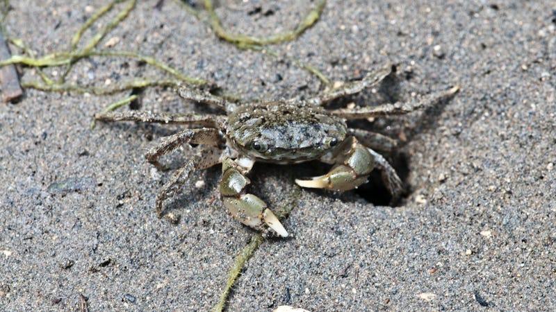 The Oregon shore crab, Hemigrapsus oregonensis. Photo Courtesy Jerry Kirkhart
