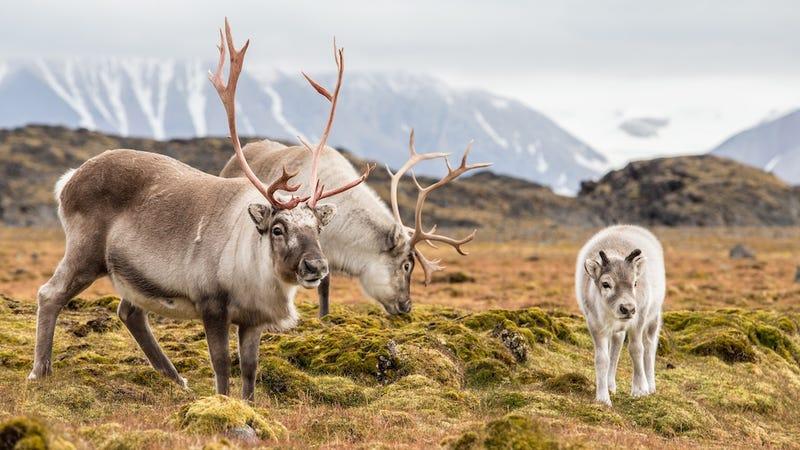 Reindeer Killed In Lightning Storm In Norway