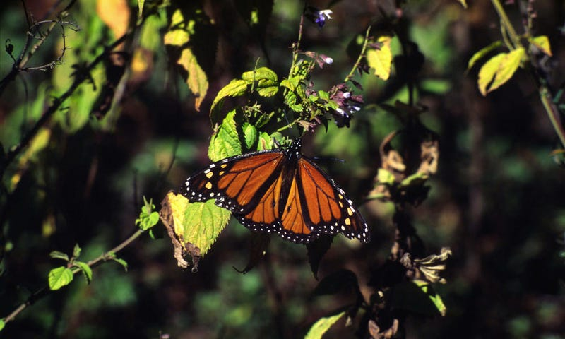 Illustration for article titled Monarch Butterflies May Soon Be an Endangered Species