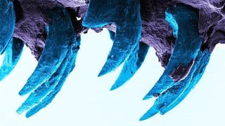 Illustration for article titled El nuevo biomaterial más duro conocido son los colmillos de este animal