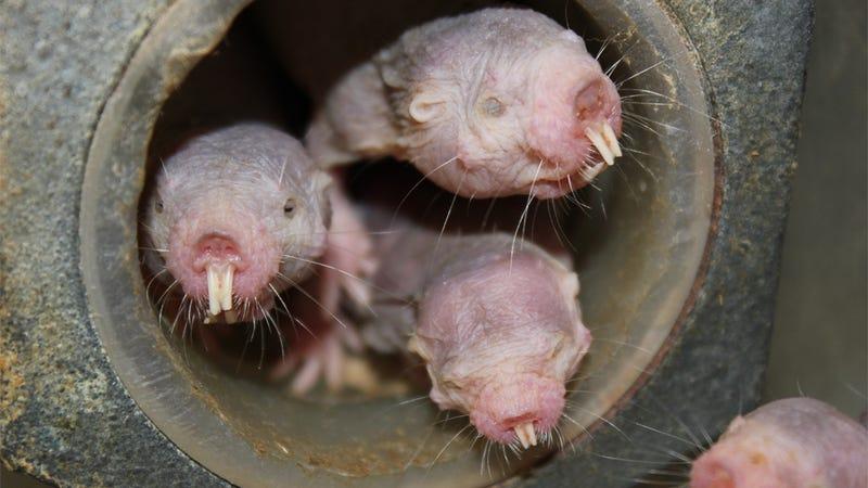 Illustration for article titled La rata topo desnuda es aún más extraña de lo que creíamos: puede vivir sin aire con el metabolismo de las plantas