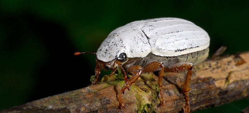 Illustration for article titled This Beetle Has a Thin Coating Whiter Than Anything Humans Can Make