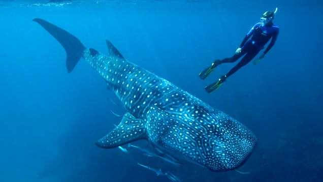 Whale Sharks' Long Lifespan Revealed by Atomic Bomb Remnants