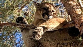 Illustration for article titled Firefighters 'Rescue' Perfectly Chill Mountain Lion From Tree