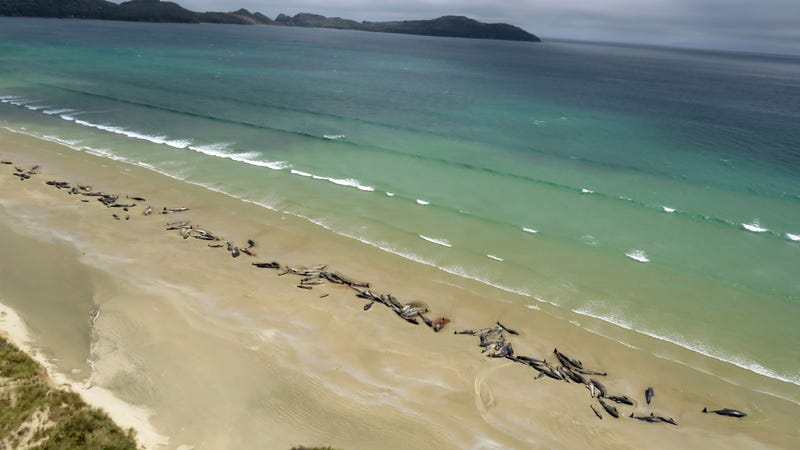 Stranded whales on Stewart Island, New Zealand